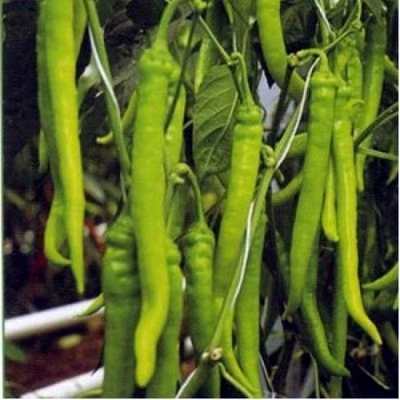 Seminte ardei iute Candela F1 (500 seminte), fructe lungi, De Ruiter Seeds