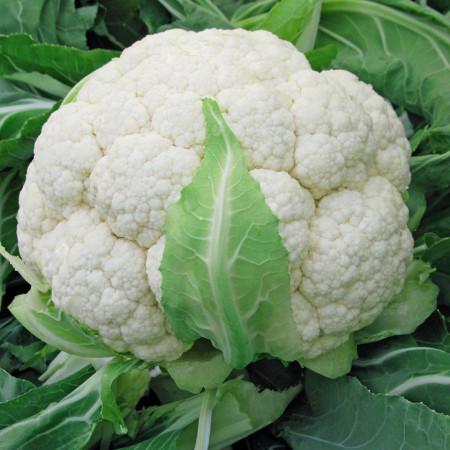 Seminte conopida Precoce Di Toscana(300 seminte) de conopida alba soi traditional italian, Prima Sementi