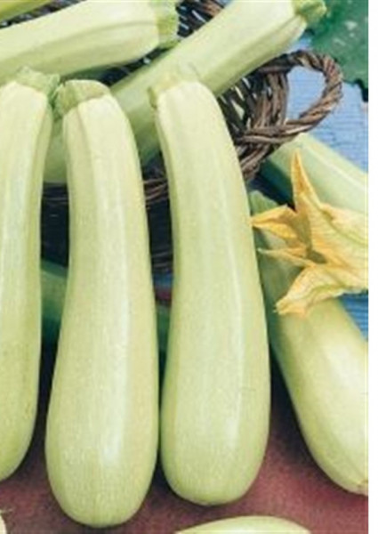 Seminte dovlecel Lungo Bianco (1 kg), soi timpuriu crem-verzui deschis, Hortus Simenti