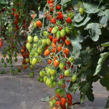 Seminte rosii pear cherry Caitlin (1 gr), semitimpurii, Agrosel