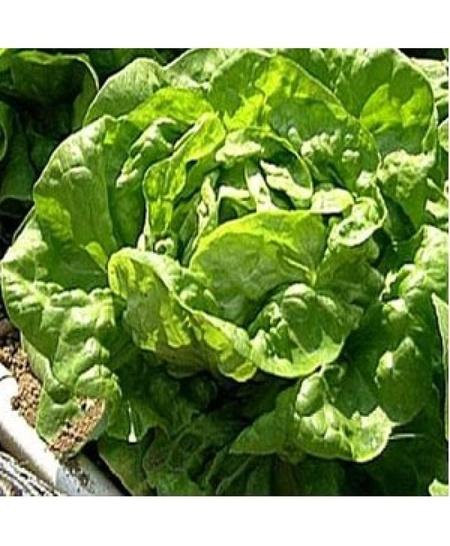 Seminte Salata Sunny - 5 gr - Seminte de salata primavara si toamna pentru spatii protejate si neprotejate 700 gr cu frunze fragede de la Hazera