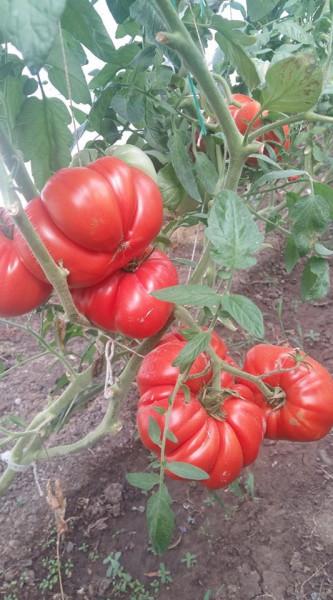 Seminte tomate Rosu de Gradina (0,5 gr), soi gigant nedeterminat, Florian
