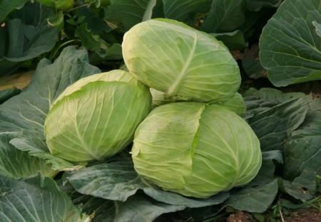 Seminte varza Caruso F1 (2500 seminte), forma aplatizata, agroTIP