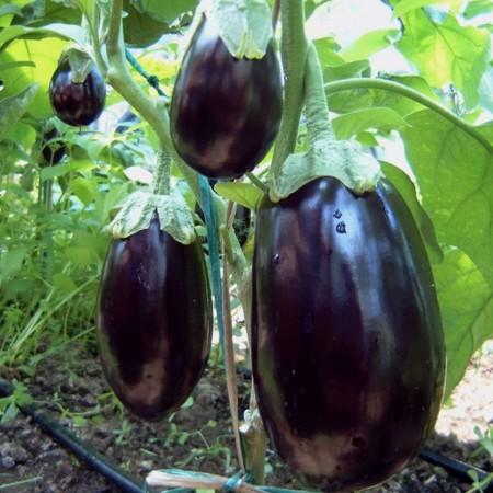 Seminte vinete Dalia F1 (500 seminte), productivitate mare, De Ruiter Seeds