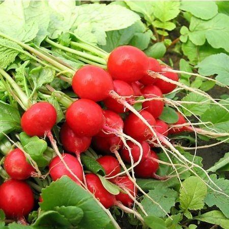 Sora (1500 seminte) de ridichi extratimpurii, toleranta foarte buna la temperaturi scazute, Prima Sementi