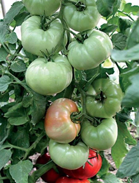 Stara Mechta F1 (Dorinta Veche), 1000 seminte, seminte tomate crestere nedeterminata semitimpurii, Florian Bulgaria