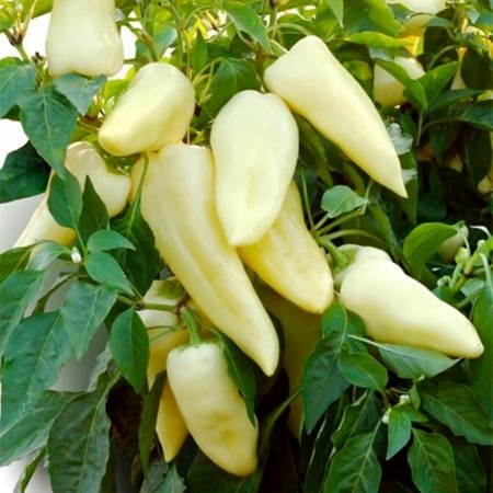 Teleki F1 - 250 sem - Seminte de ardei conic dulce cu crestere continua destinat culturii fortate ce produce fructe mari uniforme pretabile pentru export de la Duna-R