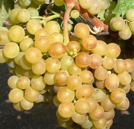 Vita de vie Grasa de Cotnari, butas de vita de vie soi romanesc din Transilvania, cu struguri galben-verzui si gust caracteristic, regasit si in vin, Yurta