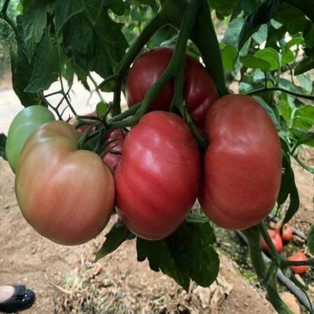 162-334 F1 (500 seminte Gusto Pink), seminte de tomate nedeterminate cu forma globulara cu nervuri si culoare roz atractiv de la Yuksel