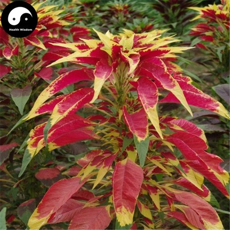 Amaranthus Gangeticus Tricolor Illumination - Seminte Flori Amaranthus de la Florian Planta Anuala
