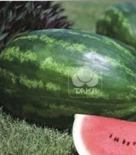 Amphion F1 - 1000 sem - Seminte de pepene verde cu fructe rezistente la pastrare si transport si miez de culoare rosu inchis foarte dulce de la Takii Seeds