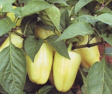 Amy (5 gr) seminte ardei gras cu fructe piramidale, galben crem, Mefim