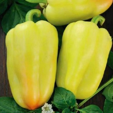 Amy - 50 gr - Seminte de ardei gras cu fructe piramidale de culoare galben crem foarte atractive pentru vanzare ce se remarca prin randamentul echilibrat si starea sa buna de sanatate pe tot parcursul perioadei de vegetatie de la Semo Cehia