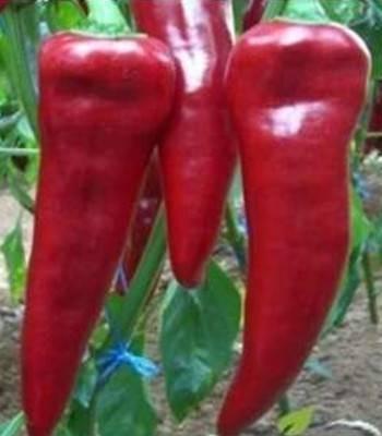 Armageddon F1 - 1000 sem - Seminte de ardei capia cu productivitate mare cu fruct carnos de culoare rosu inchis si are o lungime cuprinsa intre 22-24 cm de la Yuksel