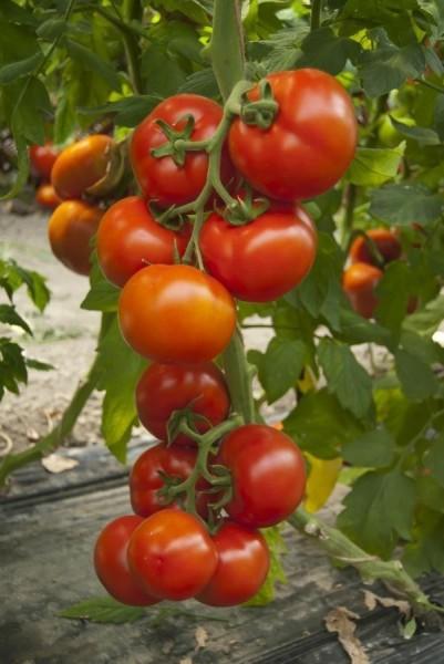 Attiya F1 - 100 sem - Seminte de tomate nedeterminate pentru culturile din ciclul 1 si 2 in spatii protejate si camp deschis cu fructe de tip beef de o calitate superioara de la Rijk Zwaan