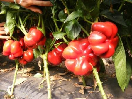 Bihar F1 (100 seminte) ardei gogosar hibrid nedeterminat, ZKI