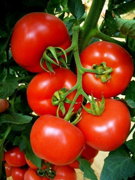 Bostina - 500 sem - seminte de rosii nedeterminate extratimpurii Syngenta, se remarca prin productii extratimpurii ridicate