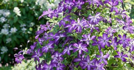Clematite Night Veil (1.5 m in ghiveci de 2 L), tufa ornamentala cataratoare Clematis, hibrid japonez cu flori colorate in purpuriu-violet si alb