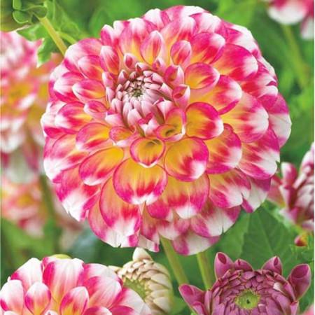 Dalie Hawaii (1 bulb), floare culoare roz cu alb, bulbi de flori