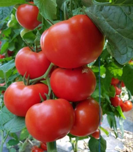 Dinakor F1 - 500 sem - seminte de rosii leaga bine in conditii de luminozitate putina gust foarte bun post maturare Syngenta
