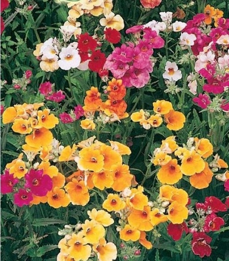 Floarea de Macaleandru - Seminte Flori Floarea de Macaleandru de la Florian