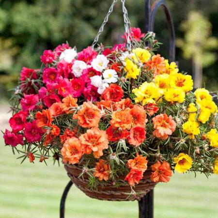 Flori de Piatra Mix Double (4000 seminte) Flori Floarea de Piatra Portulaca grandiflora double mix