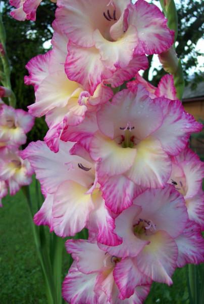 Gladiole Rose&White (5 bulbi), gladiole cu flori superbe cu roz cald pe margini si alb cremos in centru, bulbi de flori