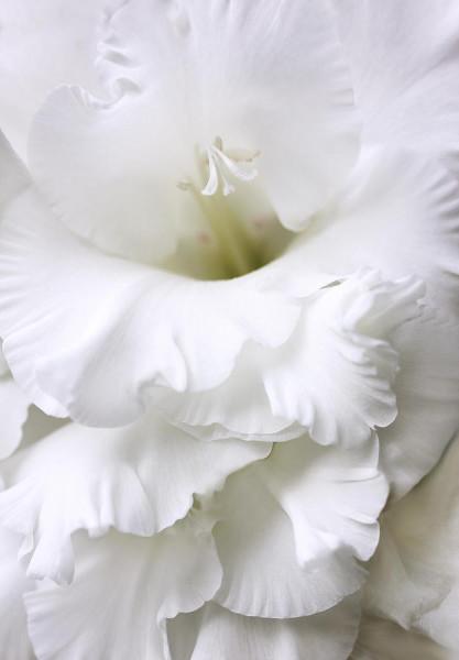 Gladiole White (5 bulbi), cu flori elegante, albe, bulbi de flori