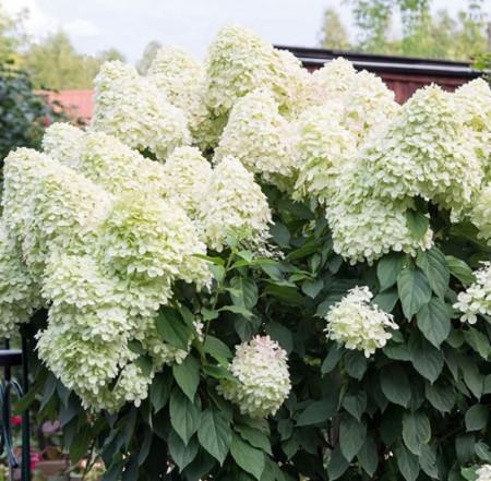 Hortensie Unique, arbust ornamental cu flori grupate in forma de con, albe-verzui in centru si albe-roz pe laterale, Yurta