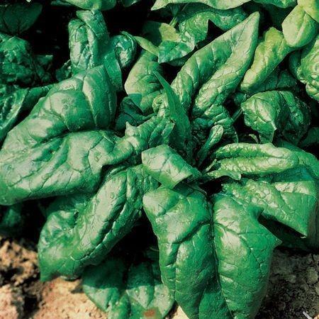 Lagos F1 - 1 kg - Seminte de spanac ce prezinta un verde inchis la frunze cu stralucire foarte buna sanatos si gustos de la Clause