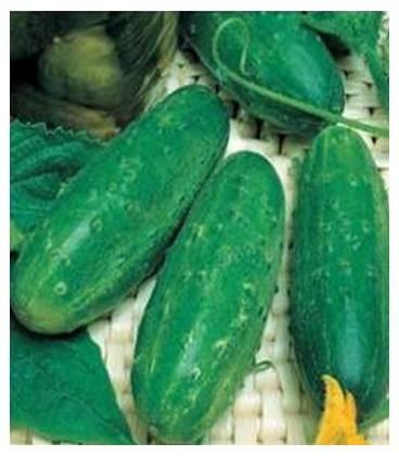 Levina Mix Castraveti cornison (1 gr) Seminte de Castraveti CORNISON Hibrid Timpuriu, Opal Bulgaria