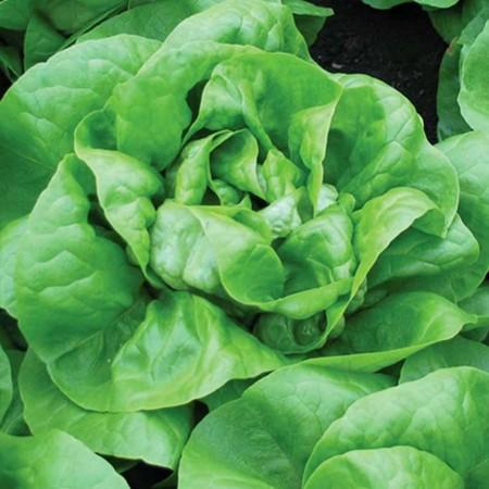 Mensana - 2500 sem - Seminte de salata cu maturitate timpurie ce formeaza capatana grea si voluminoasa rezistenta la colet de la Enza Zaden
