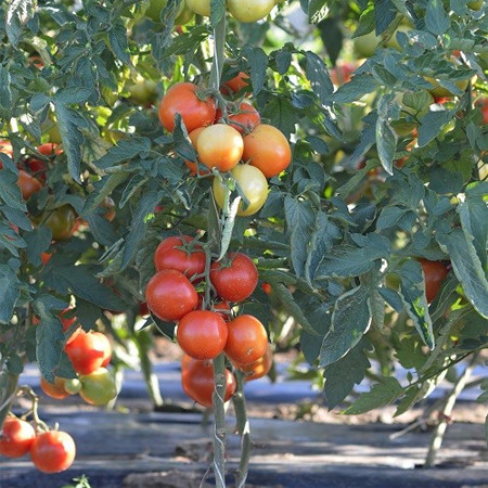 Moldoveanu F1 (500 seminte), de rosii ciclu prelungit, Agrosel