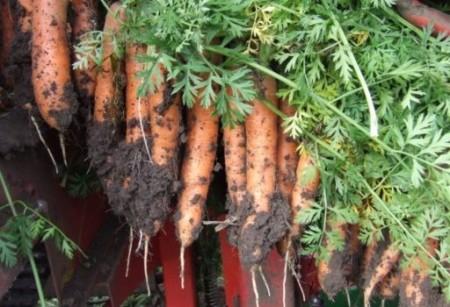 Morelia F1 - 25000 sem - Seminte de morcovi tip Nantes (calibru seminte 1.6 - 1.8) cu perioada de vegetatie de 90-100 de zile ce se recomanda a fi semanat in intervalul martie-august ajungang la o greutate medie de 80 de grame de la Rijk Zwaan