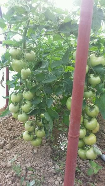 Naslada F1 - 5 gr – Seminte de rosii nedeterminate timpurii Naslada F1 bulgaresti de la Opal