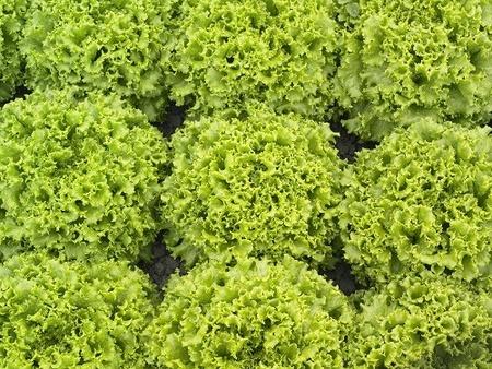 Oleole drajata - 5000 sem - Seminte de salata creata tip batavia pentru camp de la Syngenta