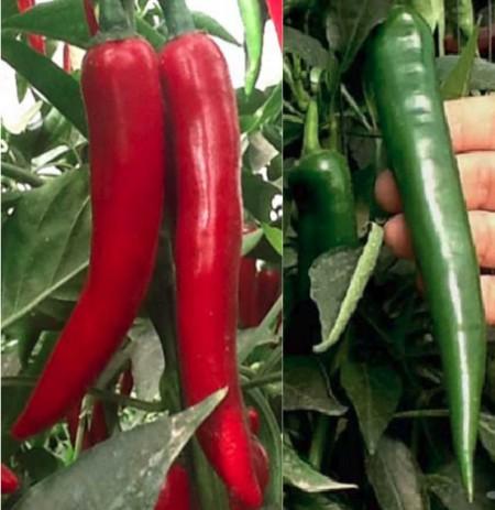 PH 16115 F1 (500 seminte) de ardei iute productiv ce prezinta coacere din verde in rosu cu legare continua pe tot parcursul perioadei de vegetatie de la Esasem