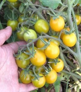 Saian F1 (1000 seminte) rosii cherry galbene cu crestere determinata si maturitate semitimpurie ajungand la o greutate de 15-18 grame/fruct fiind un hibrid excelent pentru supermarket de la Isi Sementi
