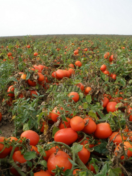 SEJK seminte tomate (10000 sem) soi tomate camp extra-timpurii, fructe ovale, uniforme, coacere concentrata, planta compacta si productiva, Semo Cehia