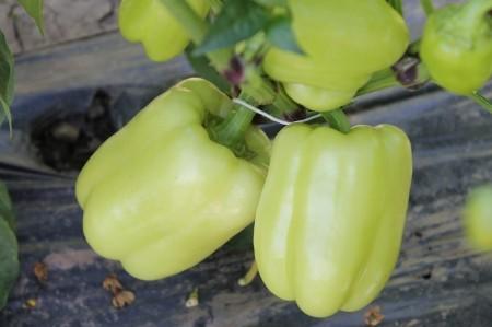 Seminte ardei gras Valahia F1 (100 seminte), tip Blocky, Hektar Agrosel