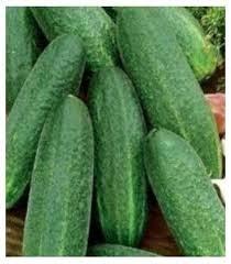 Seminte castraveti Metex F1 (500 seminte), tip cornichon, Hektar