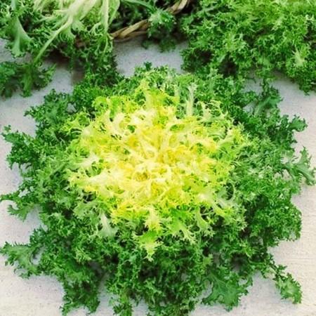 Seminte de Andiva (Cicoarea Andiva), 2 grame, Andiva este o planta asemanatoare cu salata, are un continut mare de vitamine si minerale, Florian