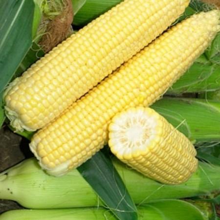 Seminte porumb Sweet Spirit F1 (1000 seminte), porumb dulce, Hektar Agrosel
