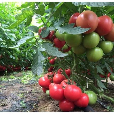Seminte rosii Mei Shuai F1 (100 seminte), nedeterminate, Seminis