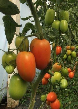 Seminte rosii ovale AX 70-827 F1 (1000 seminte), nedeterminate, agroTIP