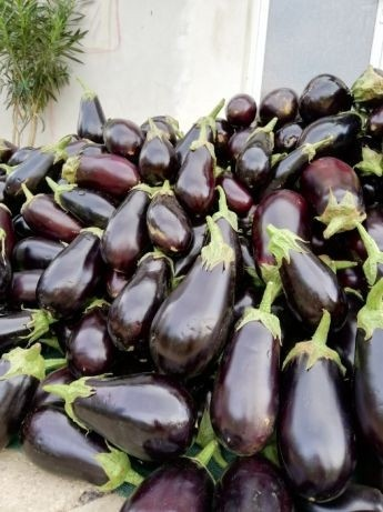 Seminte vinete Aragon F1 (1000 seminte), rezistenta excelenta la caldura, Hazera