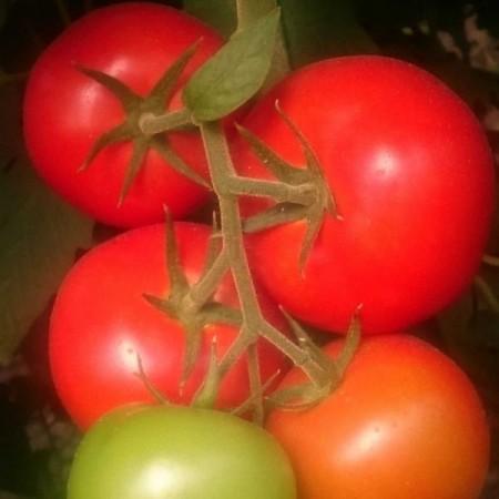 TL 16080 F1 - 500 sem - Seminte de rosii cu crestere nedeterminata si legare buna rezistenta la virusul petelor de bronz ce poate fi cultivata in sere solarii sau camp de la Esasem