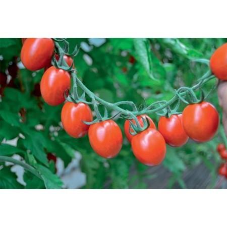 Tuttifrutti F1 - 250 sem - Seminte de rosii tip cherry cu potential de productie ridicat si recoltare pe ciorchine sau individual de la Clause