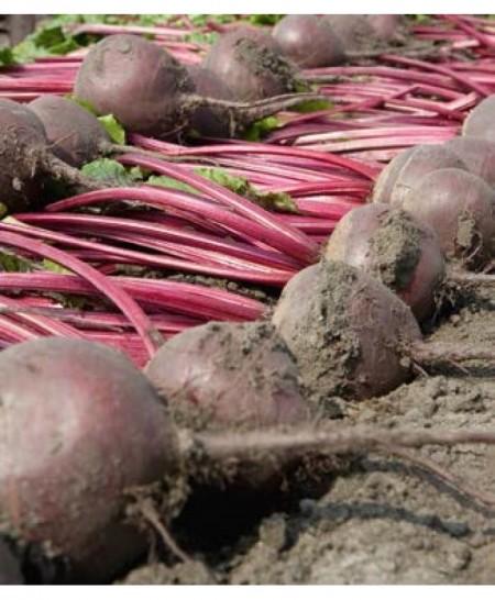 Wodan F1 - 50.000 sem - Seminte de sfecla rosie ce produce radacini uniforme rotunde si netede de culoare bordo de la Bejo