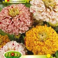 Carciumareasa ELEGANS Candy - Seminte Flori Carciumareasa de la Florian